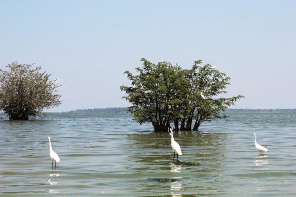 nature-lac-victoria-aigrettes
