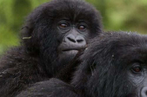 Article : Parc national des Virunga : l'humain se fout-il de son patrimoine ?